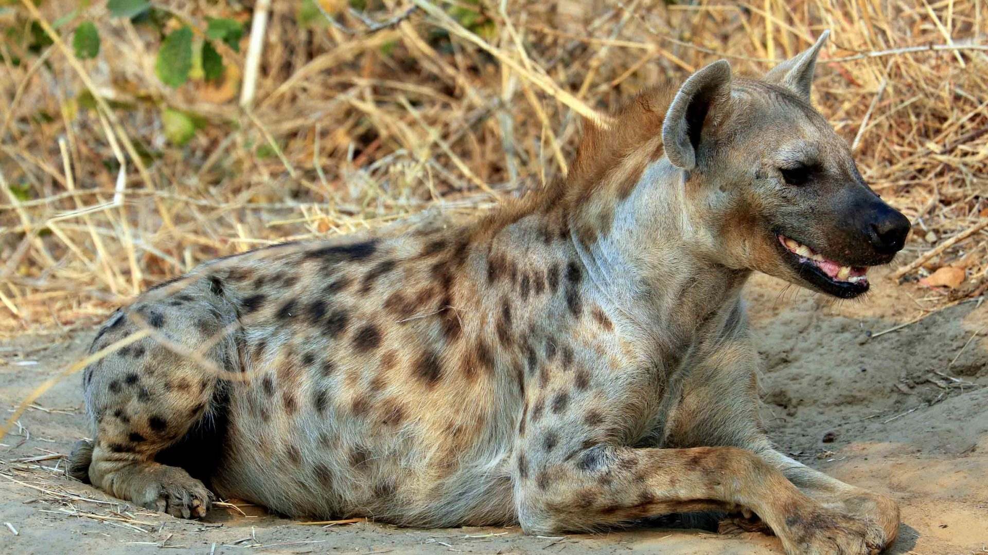 A hyena resting in the late afternoon sunlight.