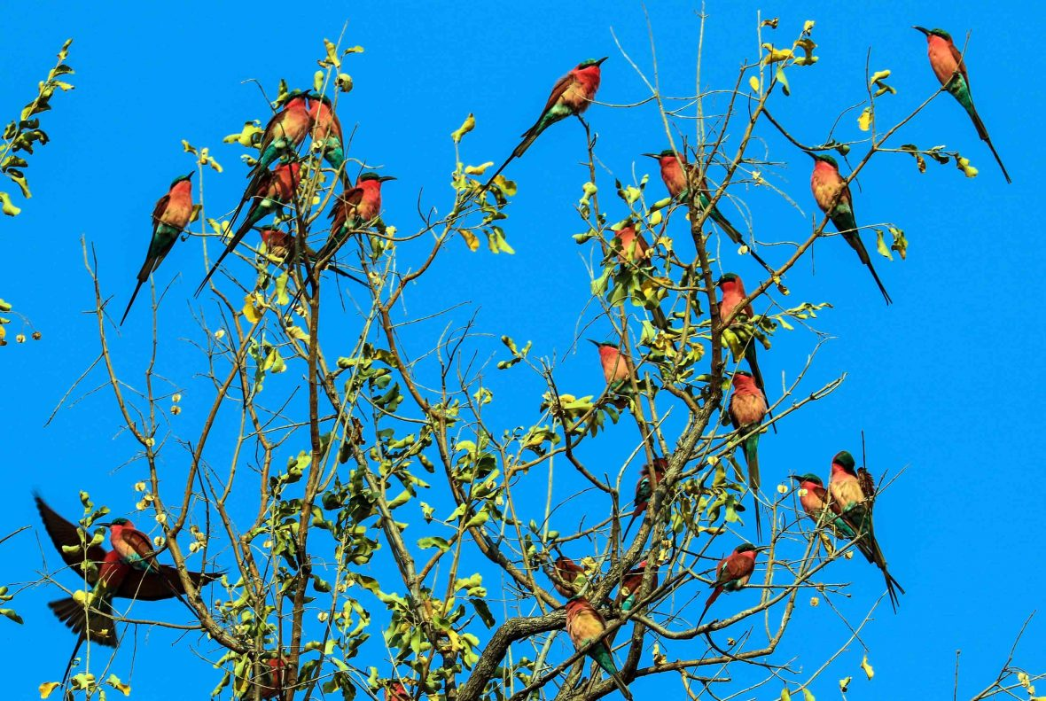 Colorful Carmine bee-eaters gather in a tree beside the Luangwa river.
