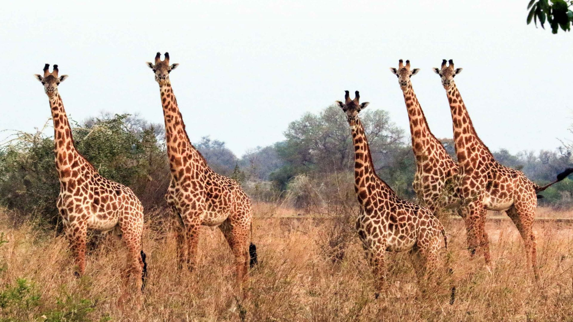 A tower of giraffes in the warm soft light of the morning sun in South Luangwa National Park.
