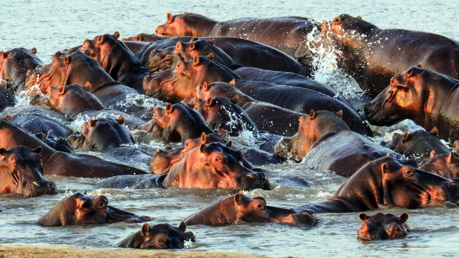 Hippos thrash about in the Luangwa river.