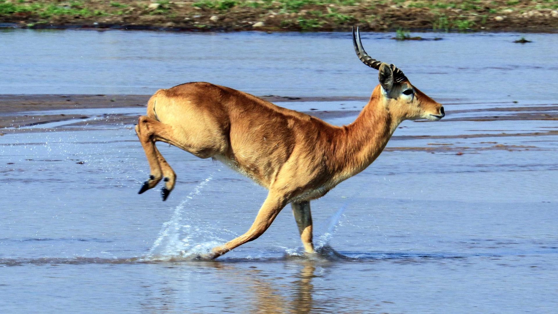 A male puku runs through a shallow part of the Luangwa river.