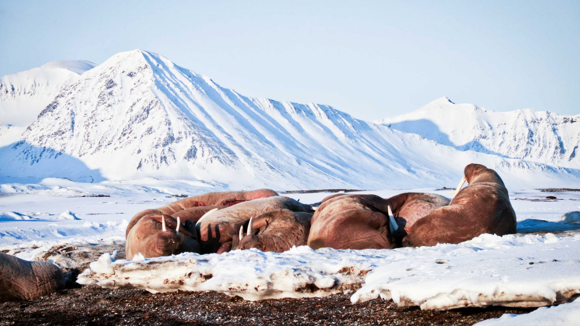 A huddle of walruses on Spitsbergen, seen from the safety of a black beach.