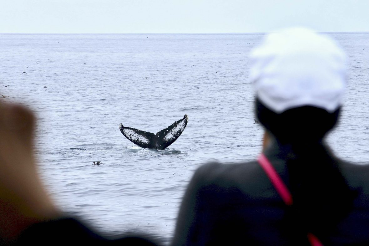 Tourists watch a humpback whale from a boat.