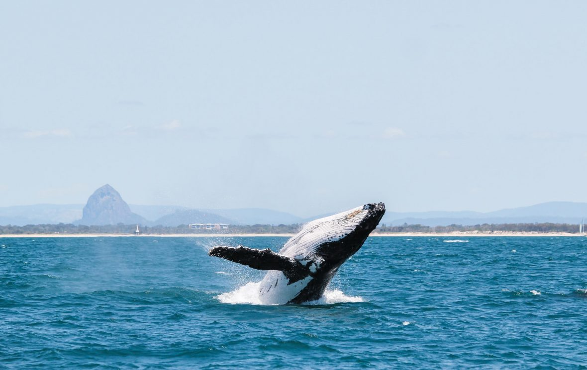 A whale breaching in front of the Glasshouse Mountains of Australia.