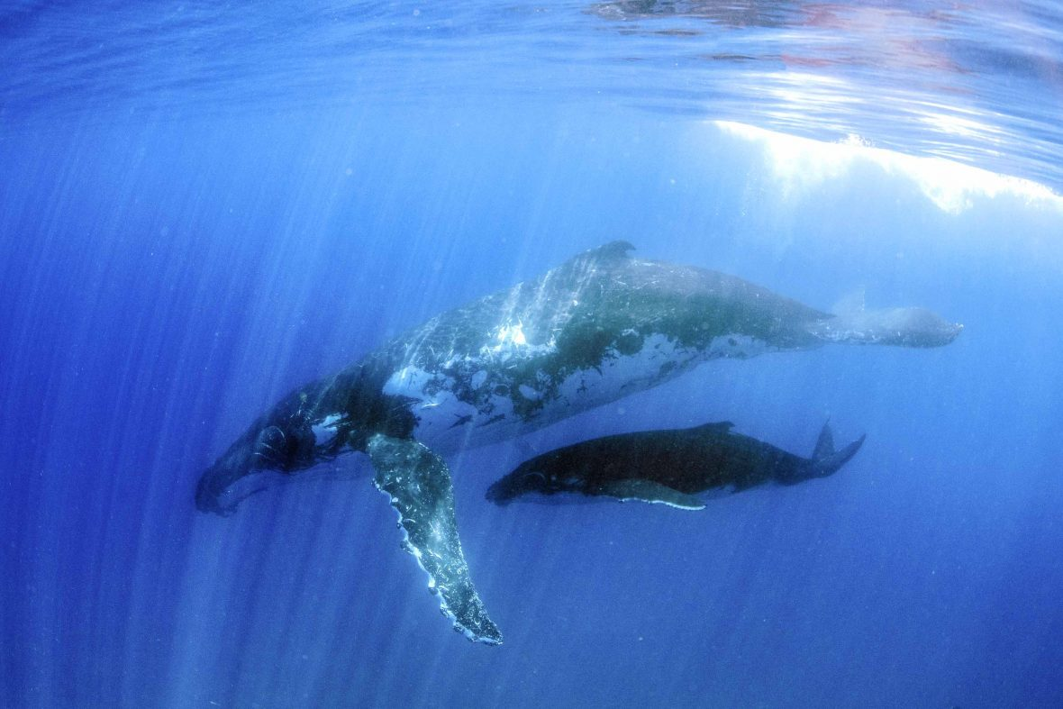 A humpback whale mother and calf swimming.