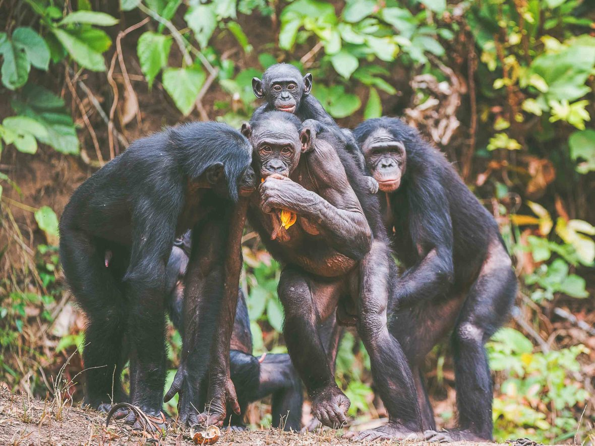 Bonobos, also known as pygmy chimpanzees, huddle together in the jungle.