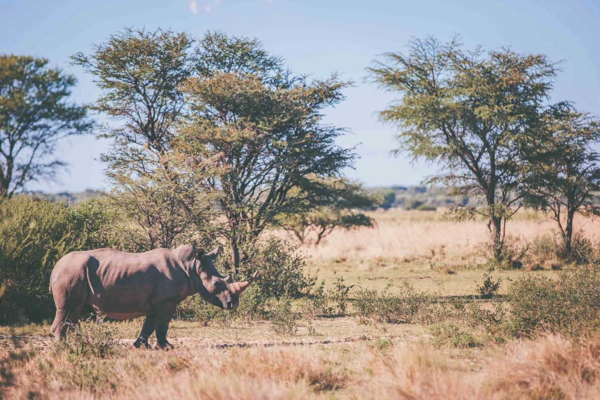 A rhino in the dry plains of Kenya.