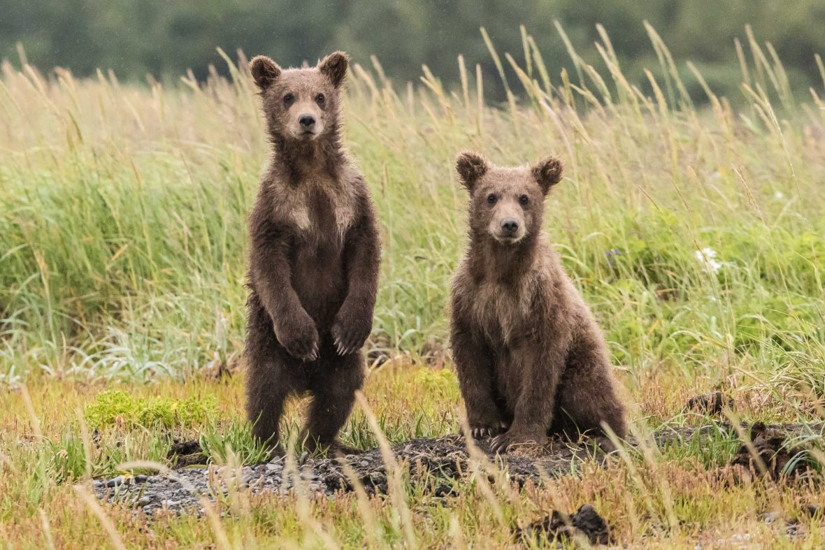 Grizzly cubs stand to attention.