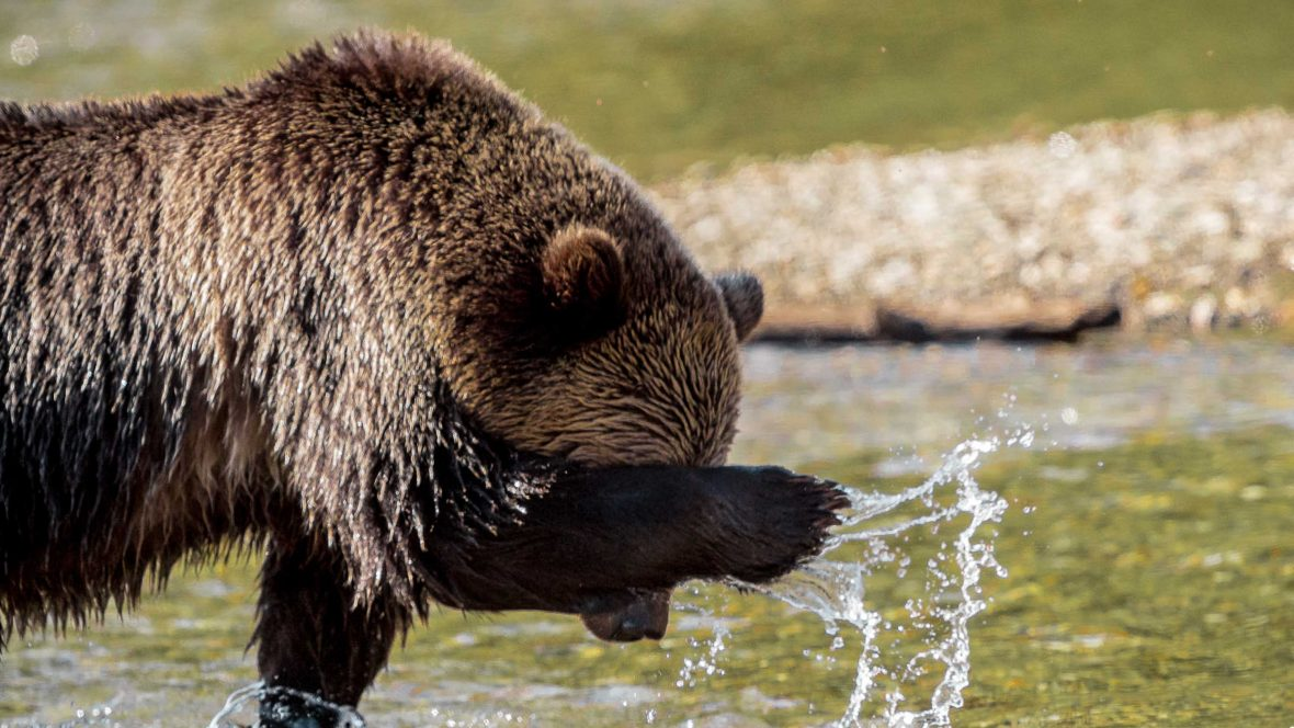 A Canadian grizzly splashes water on its face.