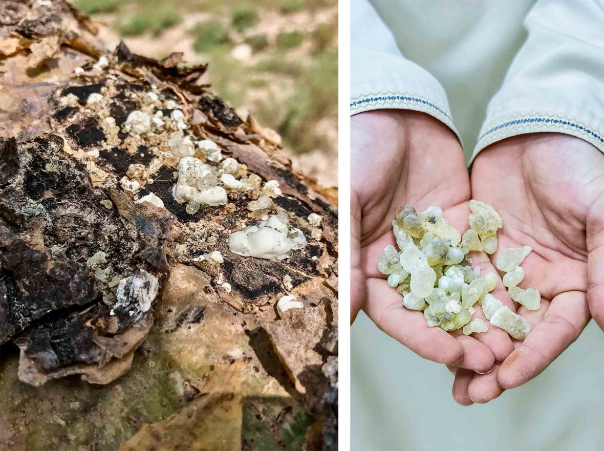 Left: Frankincense in its most raw form, obtained by cutting the bark of the 'Boswellia' sacra tree and leaving the sun-dried sap to congeal on the surface. Right: Hands hold frankincense.