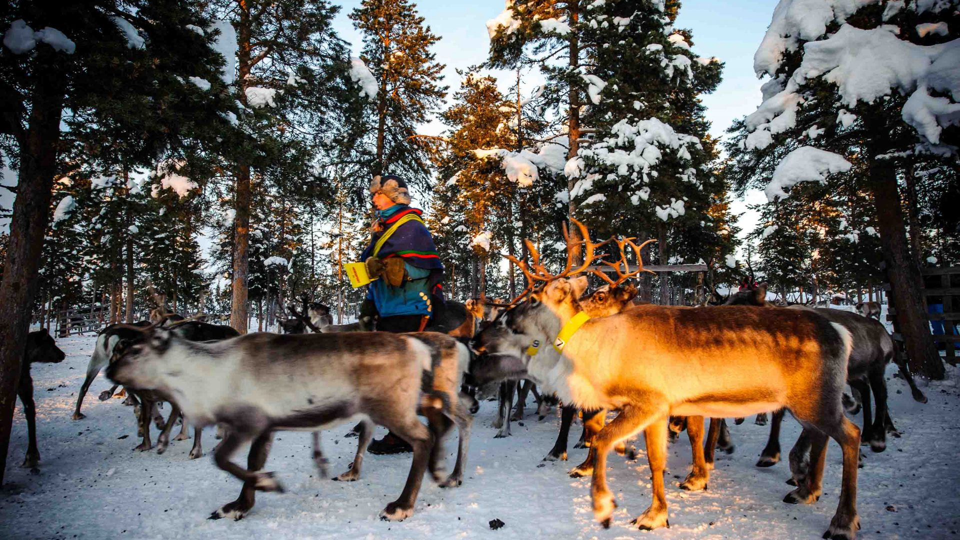 The sun sets in the small village of Jukkasjärvi, Sweden's northernmost town casting a beautiful light on the reindeers.