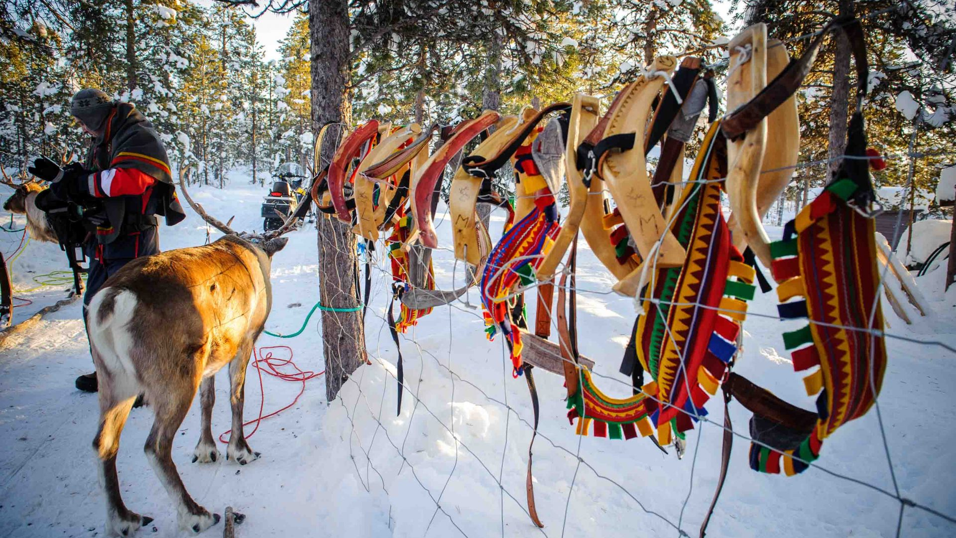 A reindeer stands next to the saddles used with sleds in the North of Sweden. Males, which are typically stronger, are most frequently used to pull sleds.