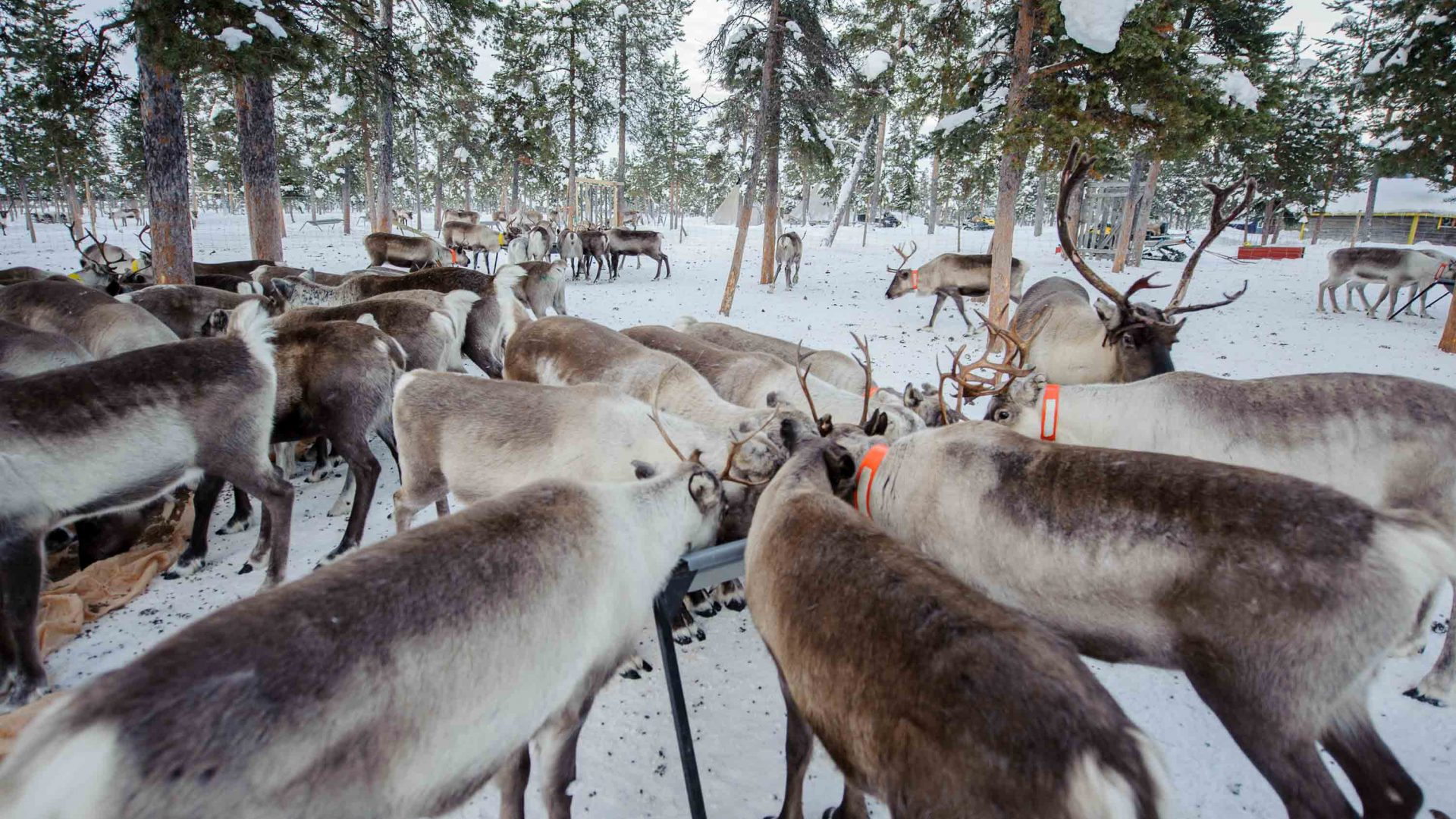 Reindeer at Nutti Sámi Siida, a company which organizes experiences that bring travelers closer to reindeer and the Sami culture.