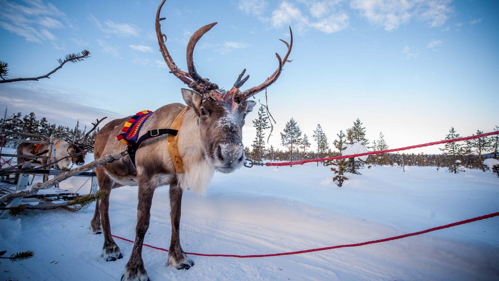 In Photos Sweden S Incredible Reindeer Herders