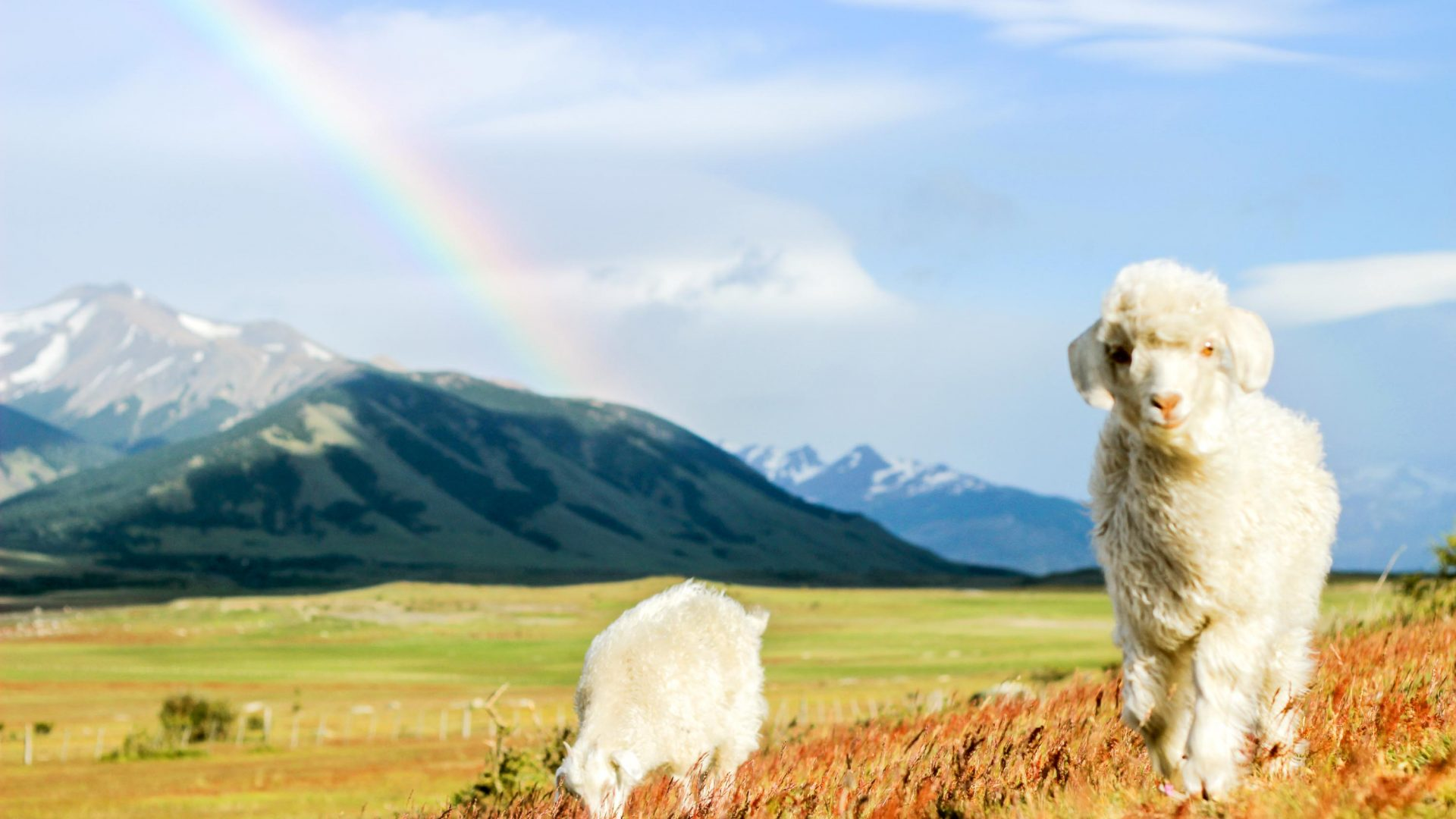 Baby sheep and a rainbow create a practically-perfect Argentinian scene.