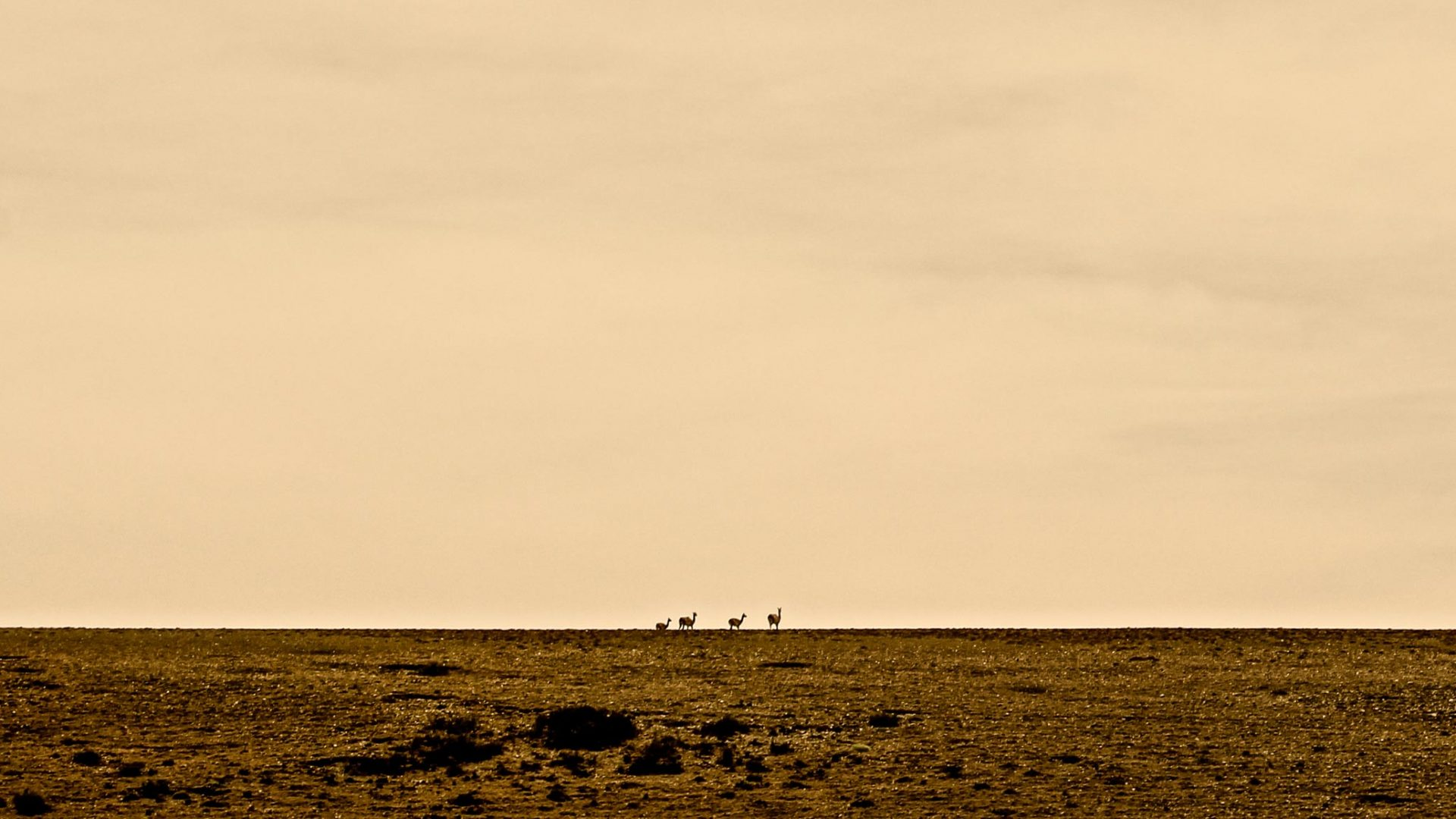 Guanacos in the distance,, shrouded in the warmth of the setting sun.