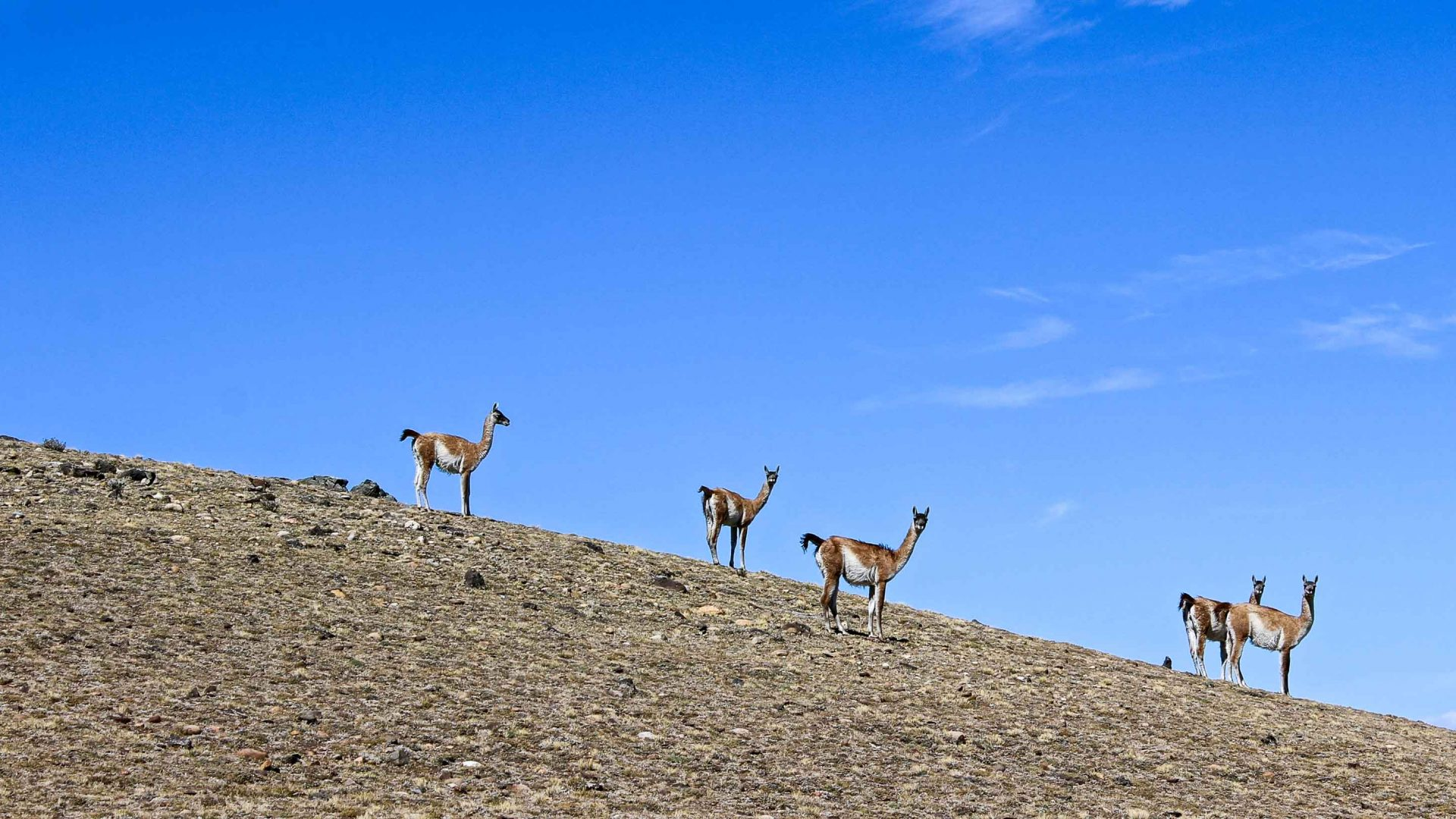 Guanacos, similar to llamas, pause on a hillside near the river.
