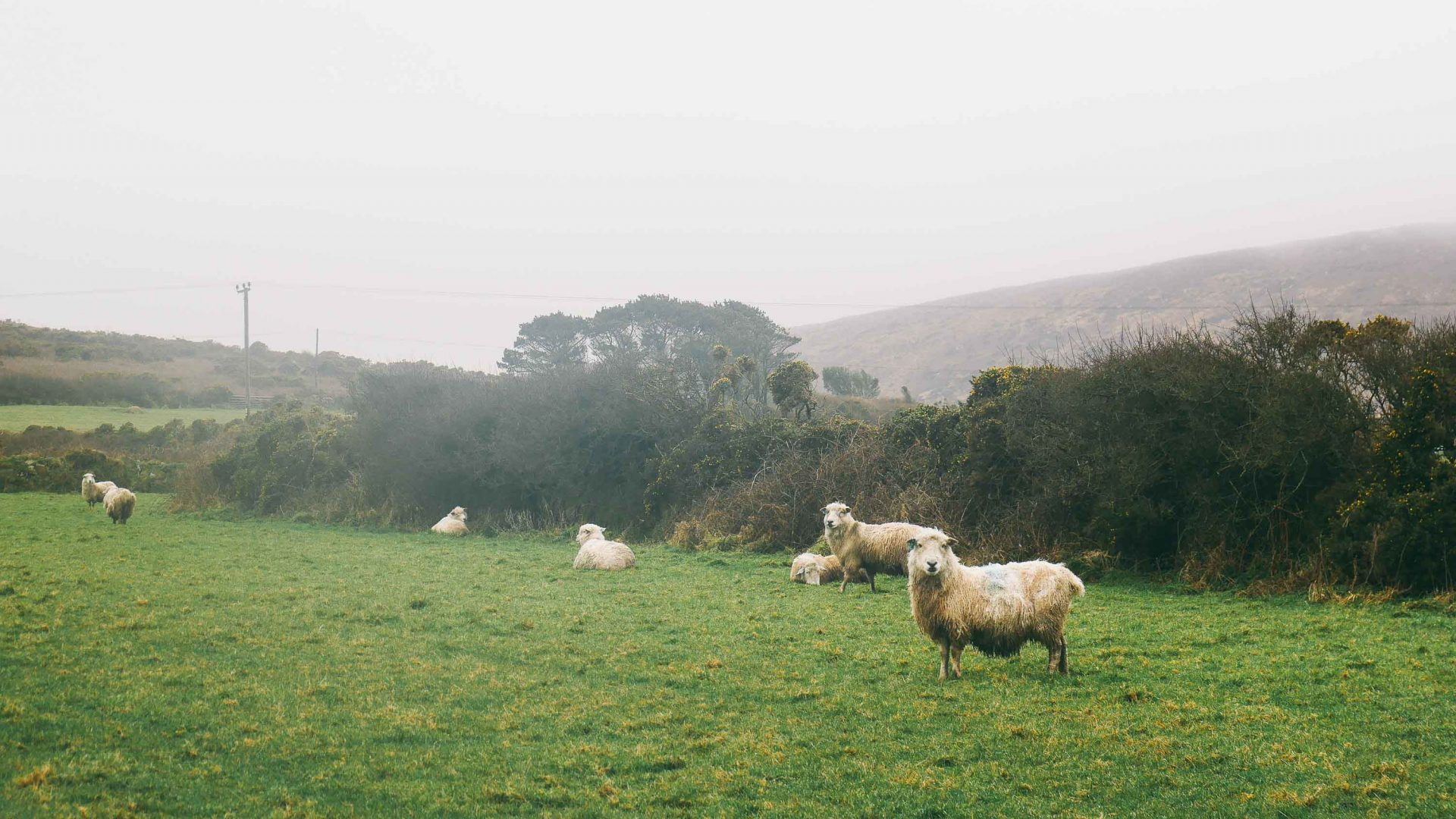 Sheep stand in a field in Cornwall.