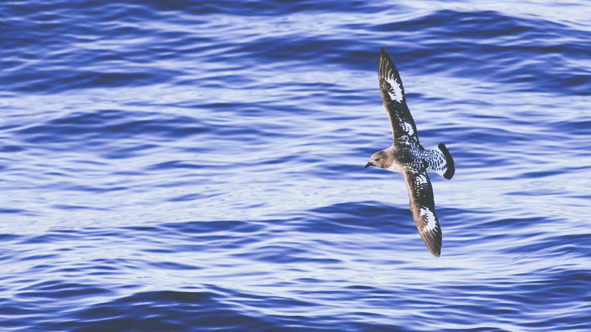 A Cape Patrel or Cape Pigeon glides a short distance above the sea in the Falkland Islands.