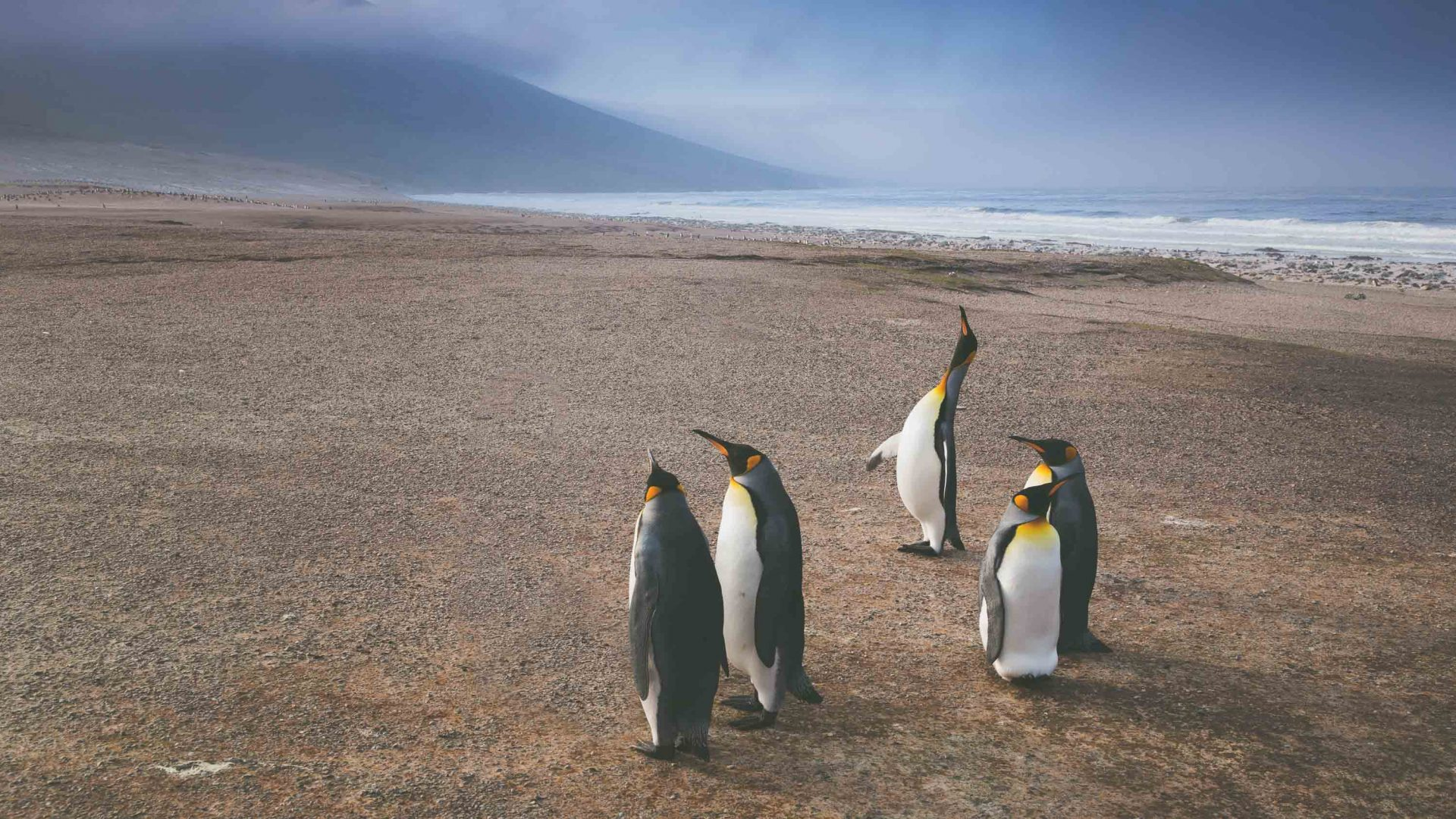 Penguin colonies are common in the Falkland Islands.