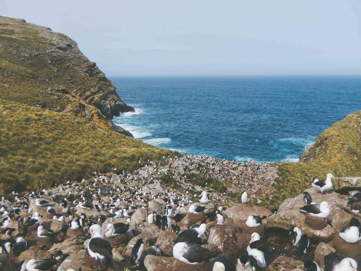 Rockhopper penguin and black browed albatross breeding site, West Point Island.