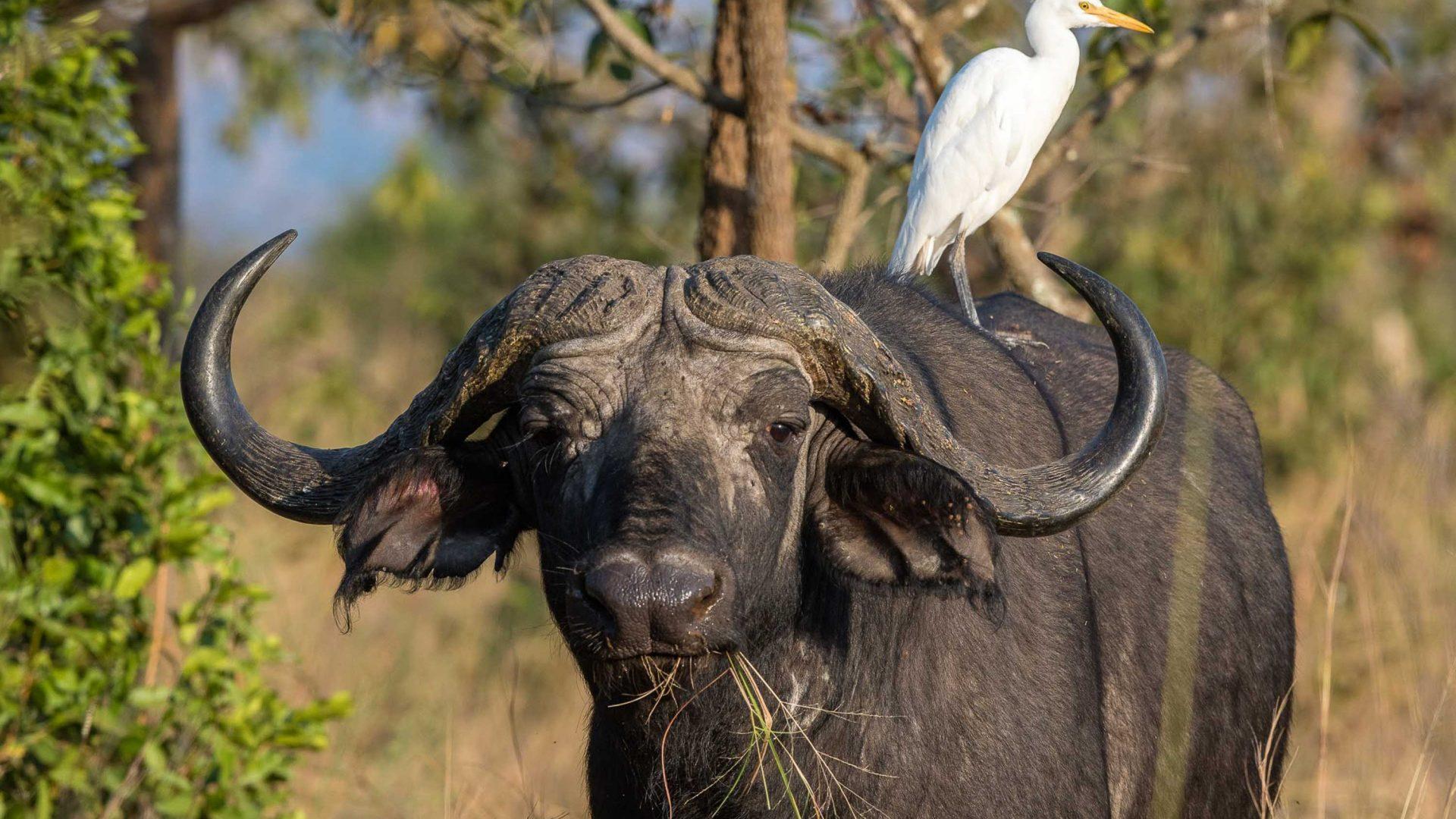 A buffalo at Magashi Camp in Rwanda.