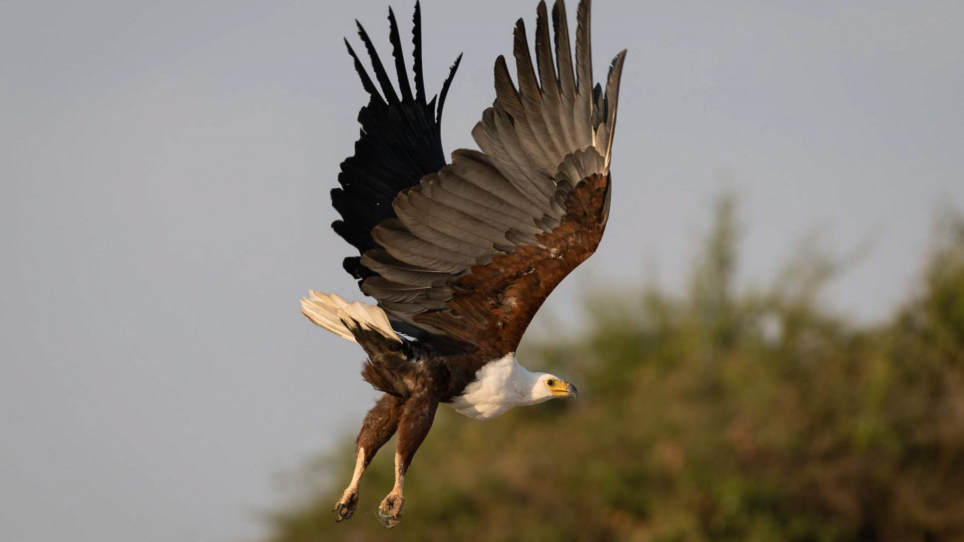 An eagle flies over Magashi Camp in Rwanda.