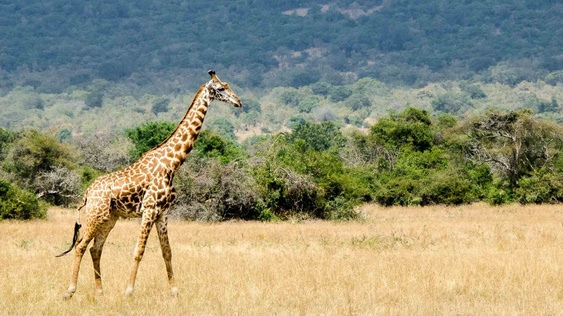 A giraffe at Magashi Camp in Rwanda.
