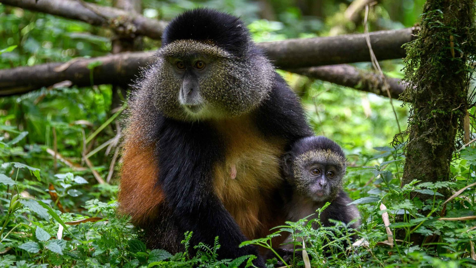 Primates in Rwanda are a major drawcard for tourists but Rwanda is trying hard to protect them.