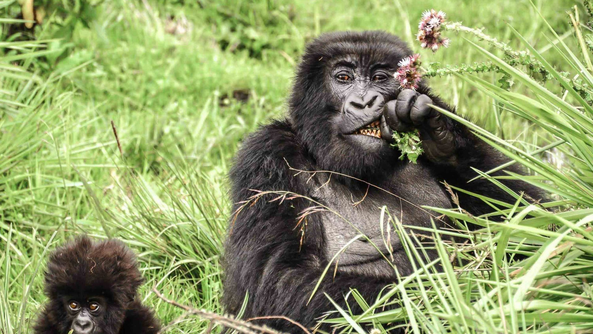 Mountain gorillas eating thistles in Rwanda.