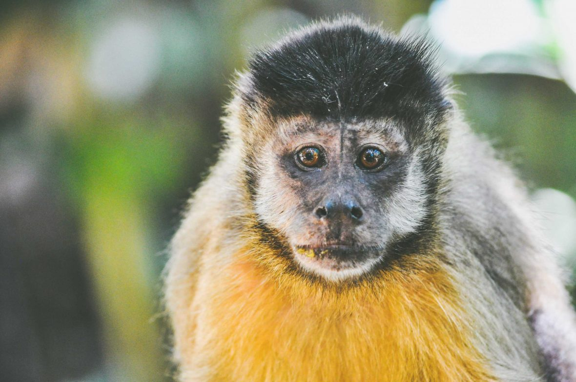 Monkeys and other animals are abundant yet well hidden in the dense foliage of the Atlantic Rainforest.