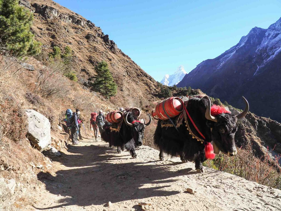 Yak caravans are a constant presence on the EBC trail.