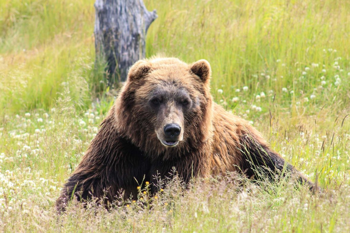 Despite instilling fear in locals and visitors alike, a bear looks relaxed in the grass of Alaska.