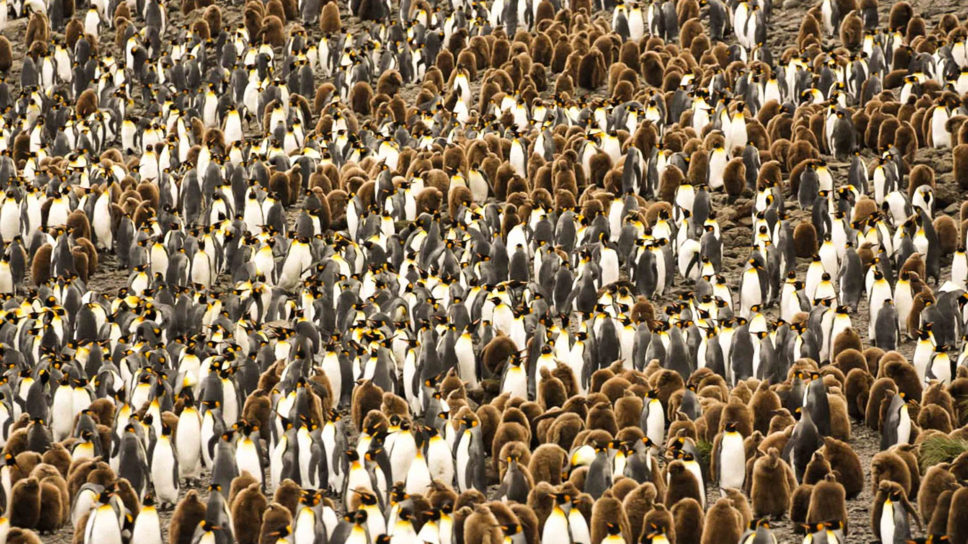 Springtime in South Georgia is breeding season, and heralds the gathering of the largest concentration of seabirds on the planet.