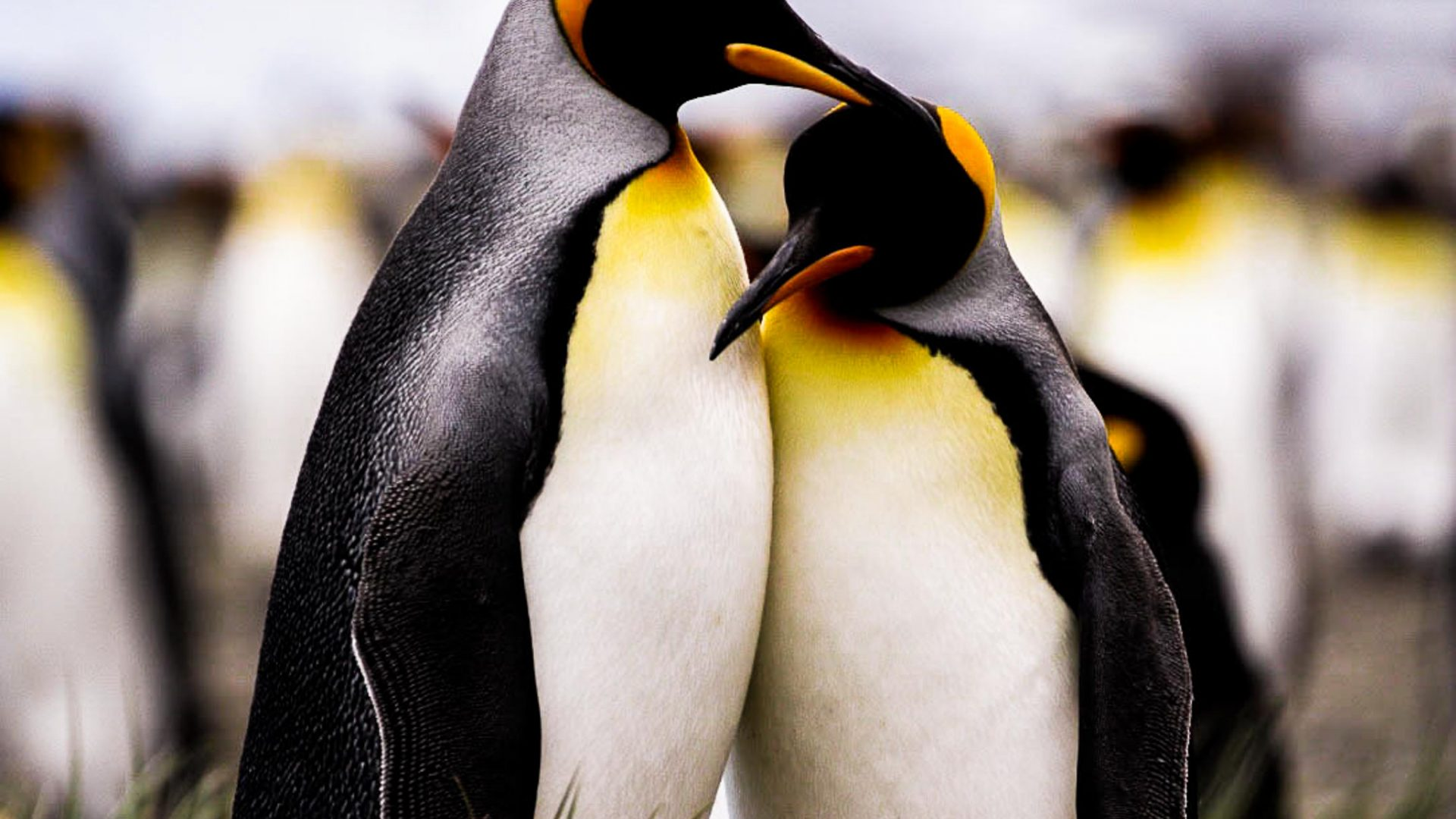 At Salisbury Plain, an estimated 60,000 pairs of king penguins gather to breed.