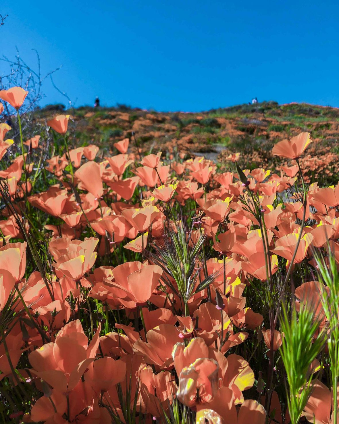 The poppy super bloom in Lake Elsinore, California, caused 66,000 smartphone-wielding visitors to the town.