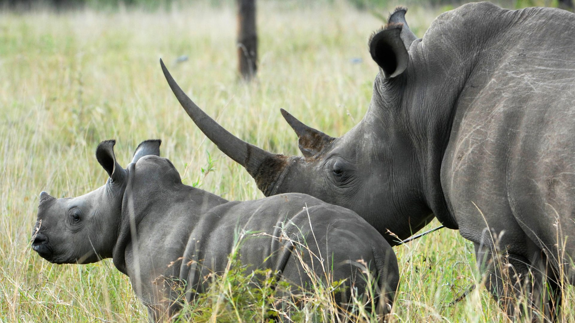 Inside the complex and secretive world of rhino conservation