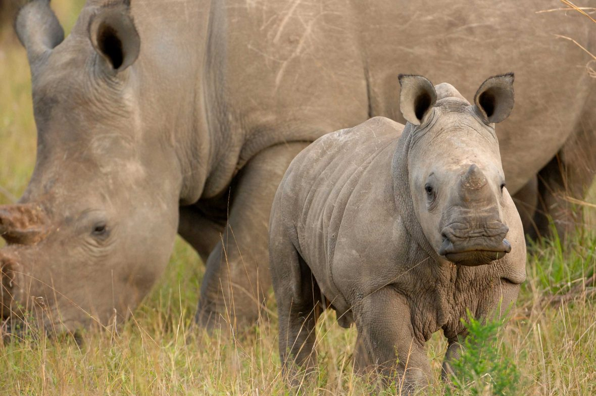 A rhino calf and its mother in Phinda Private Game Reserve.