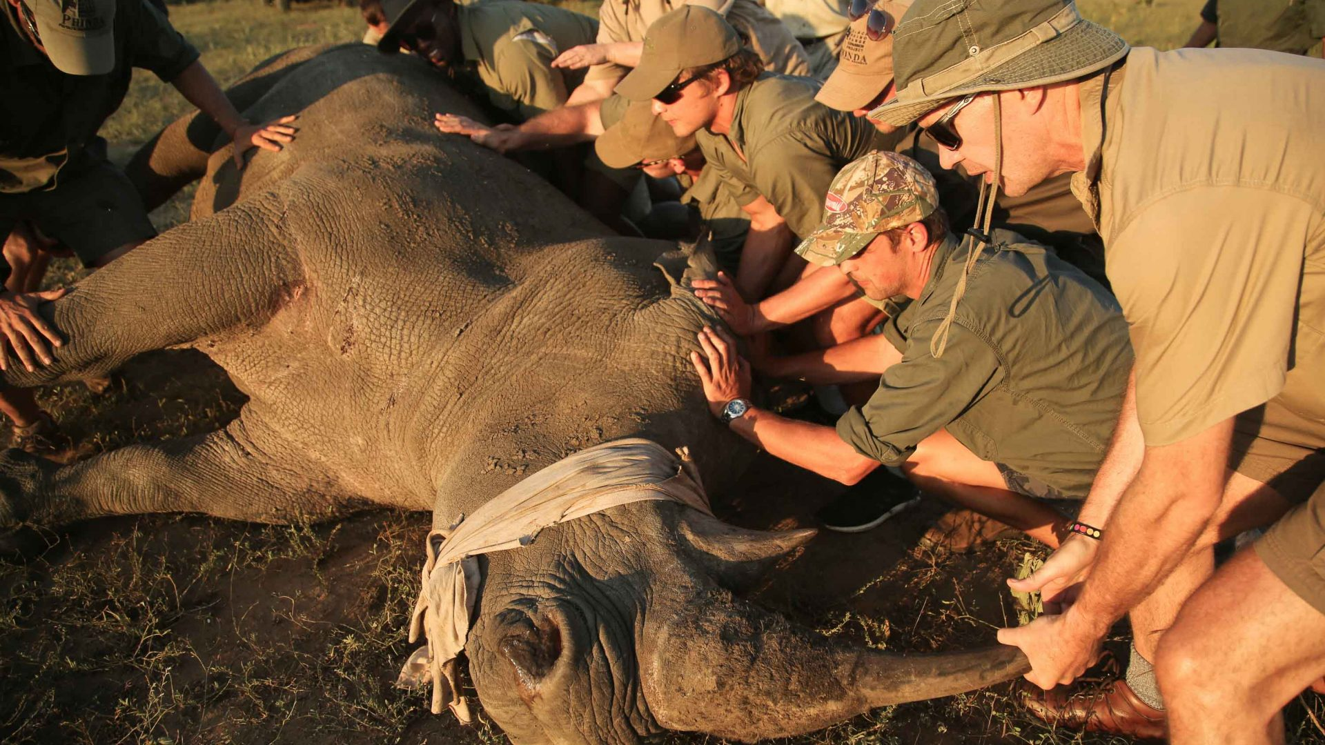 A team of people works to dehorn a rhino.