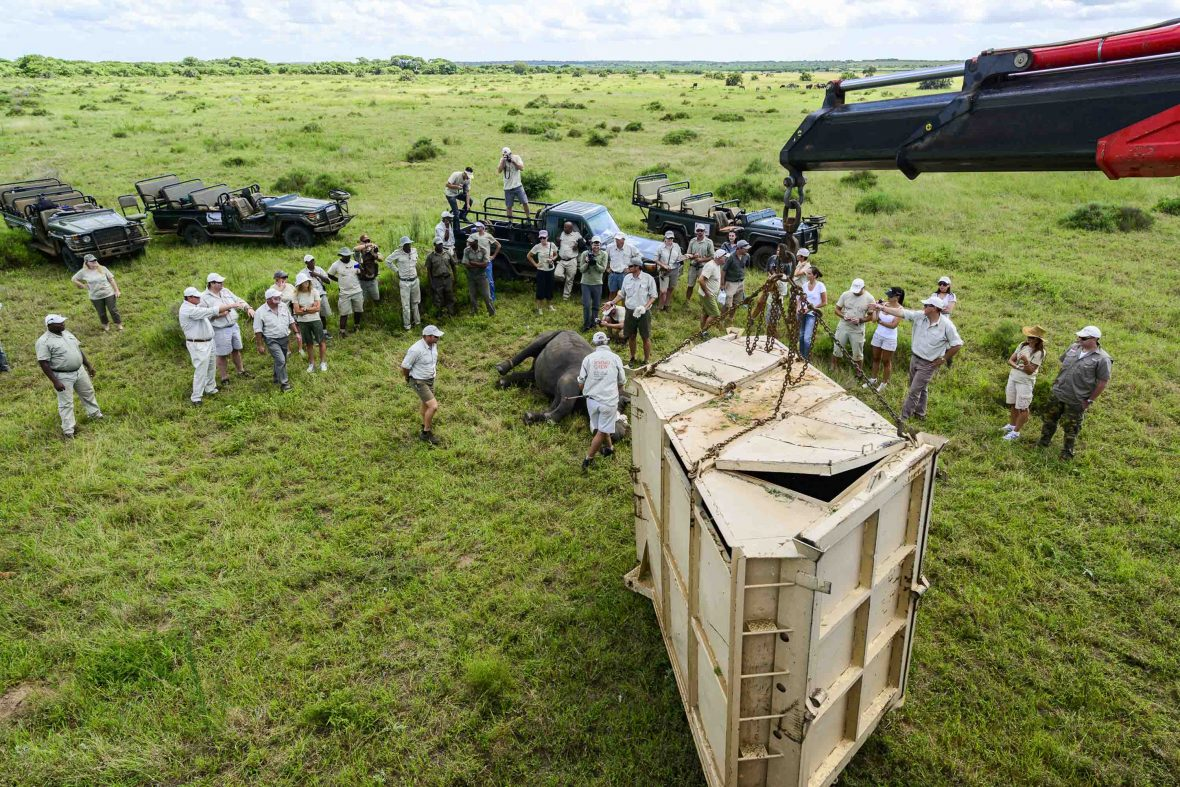 A rhino is moved into a transportation crate.