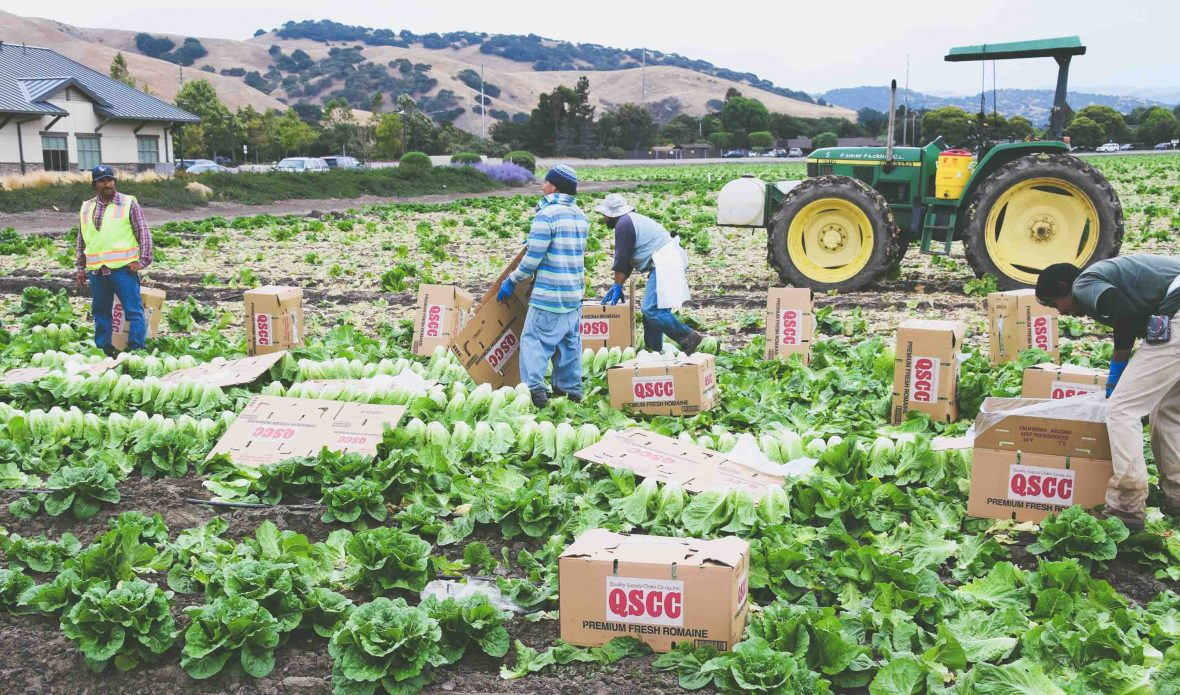Seasonal field workers cut and box Romaine lettuce at a farm in Salinas, California.