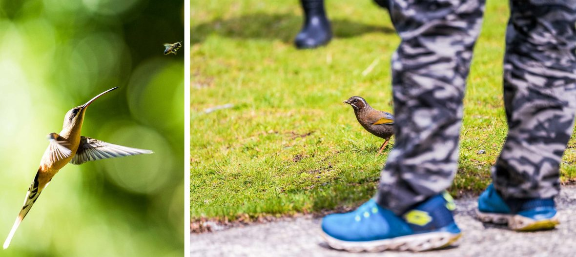 Left: The Planalto Hermit in Mata Atlântica (Atlantic Forest), Brazil; Right: A white-whiskered laughing thrush spotted by onlookers in Taiwan.