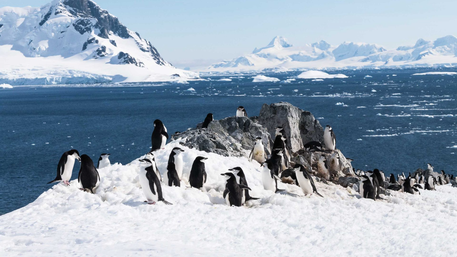 Chinstrap penguins from South Shetland Islands, Antarctica.