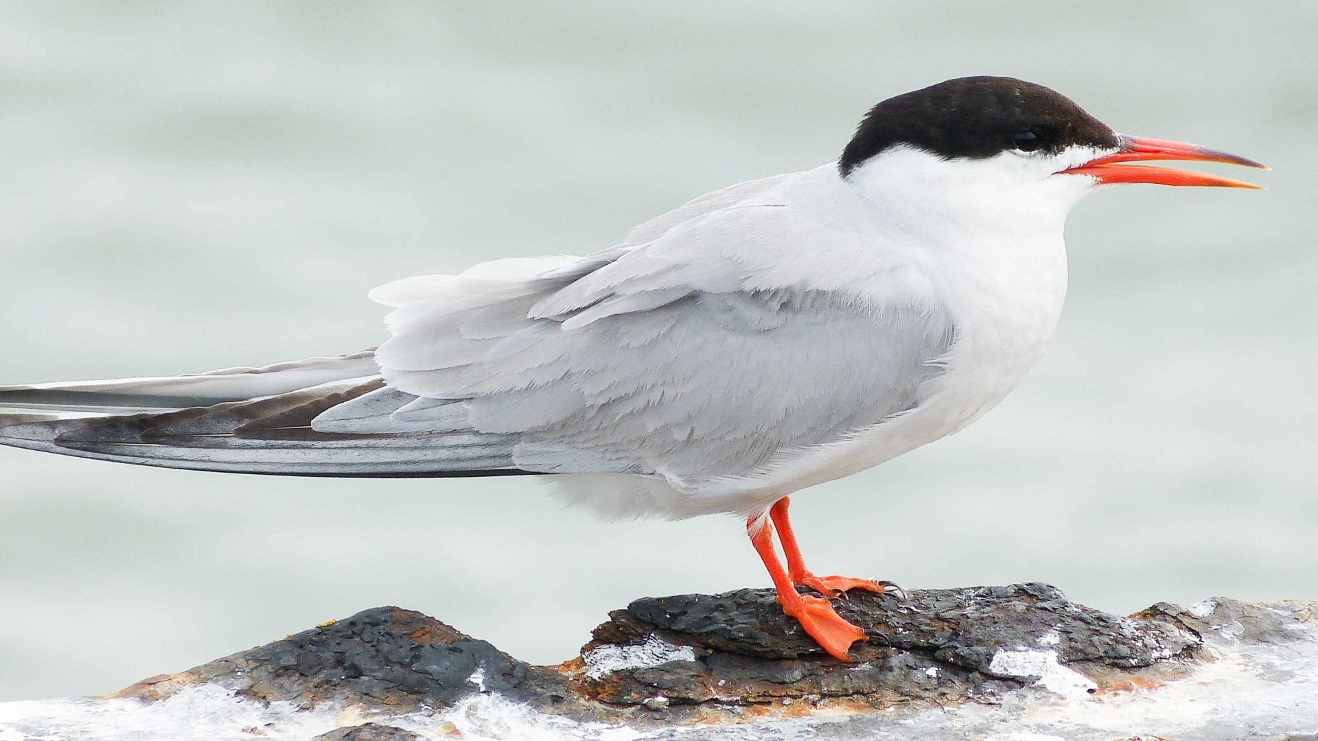 The common tern in Scotland.