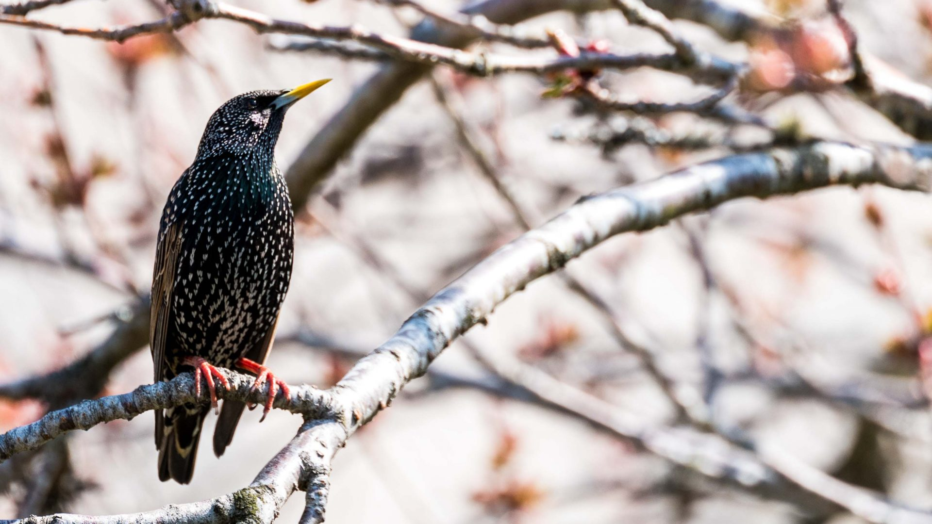 A starling in Grantown-on-Spey, Scotland.