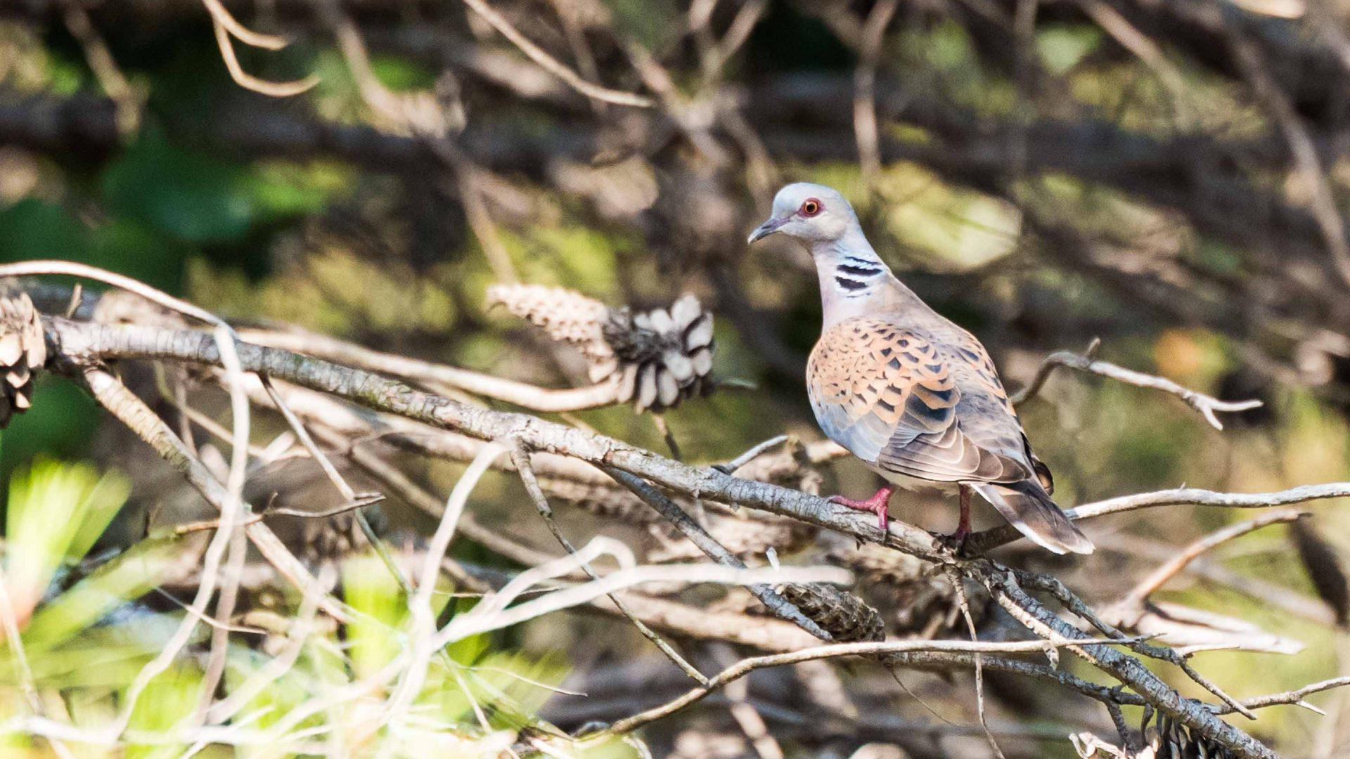 A turtle dove in Negev Desert, Israel.