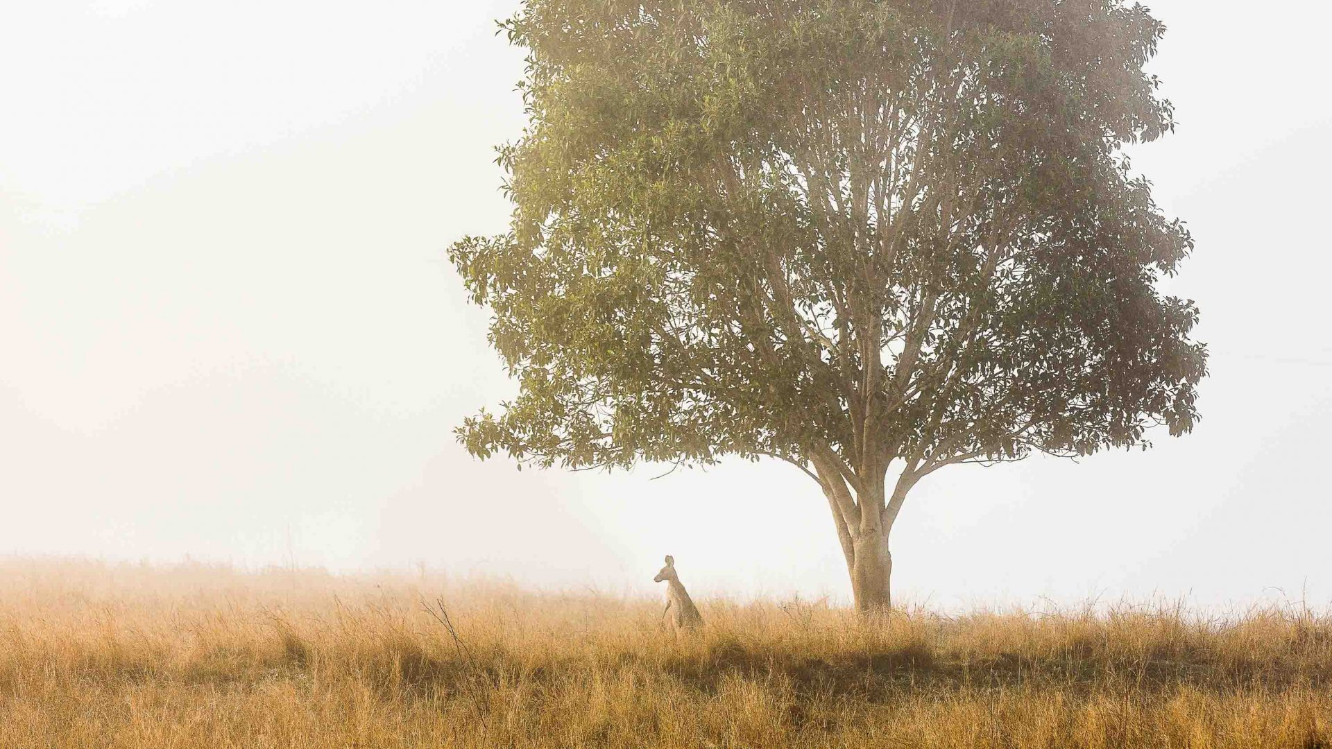 A kangaroo in the dry rural landscape of Australia.