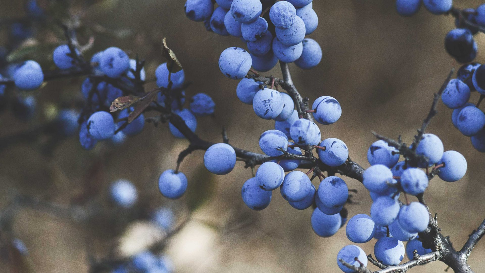Blueberries growing in a food forest.