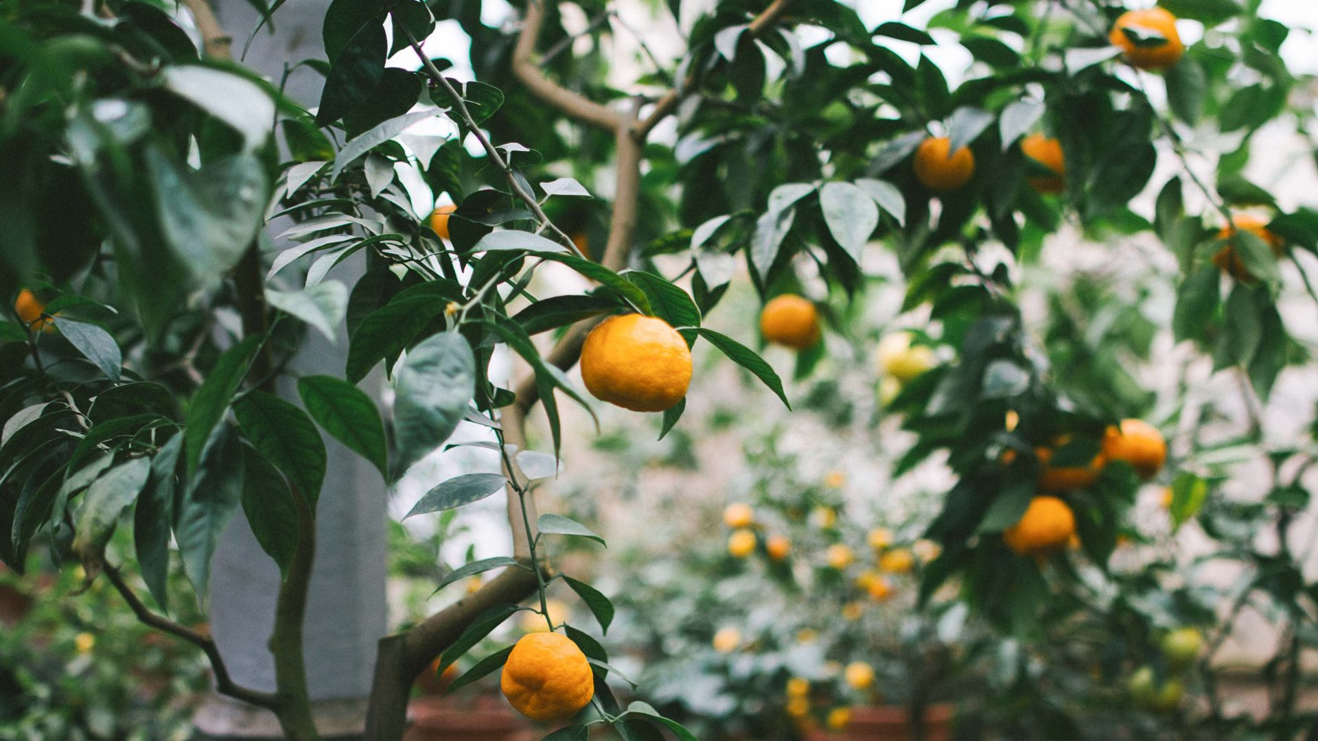 Oranges ripe for the picking.
