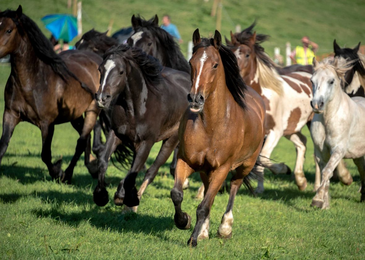 Wild horses are rounded up from surrounding mountains for the annual rodeo.
